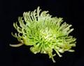 Green fuji mum
