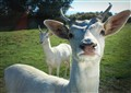 Muriel - white goat who reads the Seven Commandments
