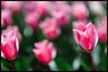 Fuchsia Tulips