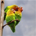 Loverbirds