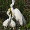 Great Egret Chicks Asking Mom for FOOD