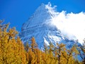 92315 Lyall's larches