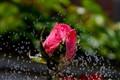 Bathing Rose