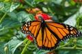 Monarch, the Wanderer