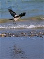 Cruising Crow