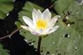 Madjagalang (water lilies)