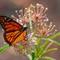A Monarch Butterfly-8881