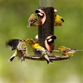 Finches in a Frenzy at the Feeder