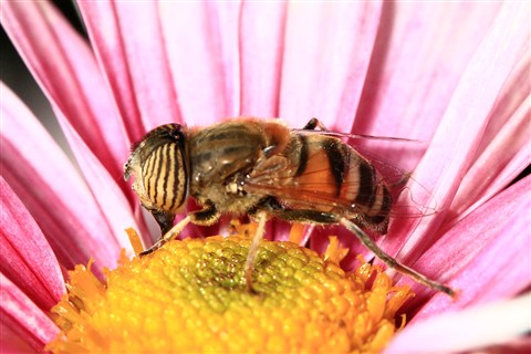 Syrphidae_on _pink