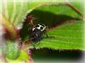 Midget Bug