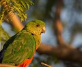 young female king parrot