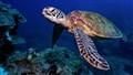 Laulau Turtle
