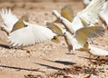 Beach Corellas