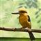 Micronesian-Kingfisher