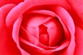 Red Rose _MG_3889