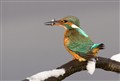 Kingfisher having lunch
