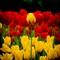 A standout tulip