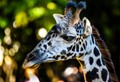 Giraffe-2419
