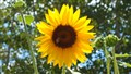 Sunflower @ Fallon Fairgrounds