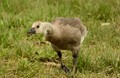 Young Canadian Goose chasing me down. Lewiston California, Trinity River.