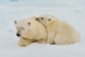 mother polar bear and cub take short snooze