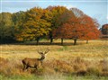 Richmond Park Red Deer