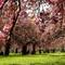 Spring celebration under Cherry blossoms - Sceaux Parc- Paris