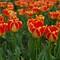 Tulips (red & yellow)