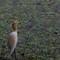 Doubtful Pond Heron