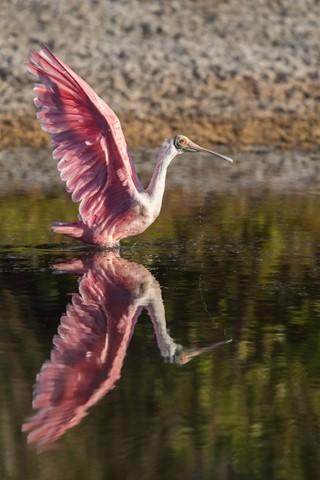 Spoonbill takeoff