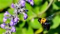 bumble bee approaching