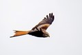 Red kite, mid-Wales