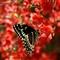 Butterfly @ 150mm