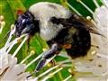 Bumblebees Don't Bumble