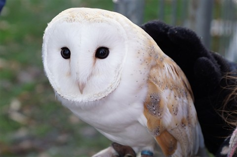 Barn Owl at North Shields Victorian Fair 12/2012