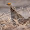Male greater prairie chicken (Tympanuchus cupido)
