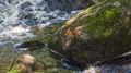 a big leap for a little creature - crossing a fast stream in Cumbria