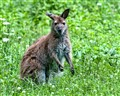 Wallaby @ The Granby Zoo