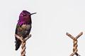 Anna's Hummingbird -0563