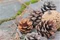 Pine cone family