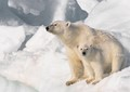Cute Polar Bear