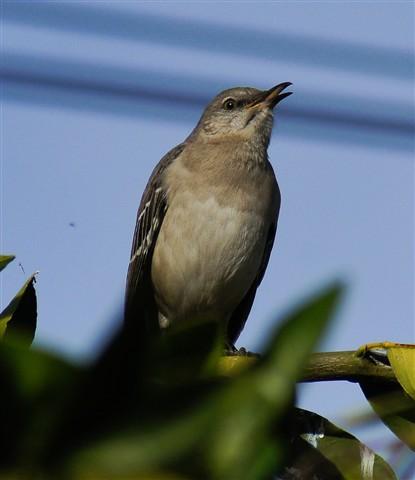 Mu-mu-muh...mockingbird!