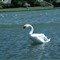 A swan having a shake down-08030094