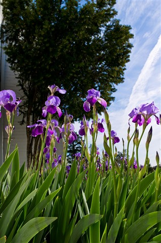 Irises at FEI 4a