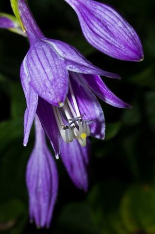 hosta bloom 10 hanging