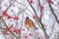 A robin eats a winterberry on a snowy day in Western Kentucky.