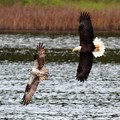 Bald Eagle Chasing Osprey