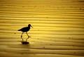 Galveston, Texas shore bird