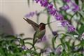 Pismo Beach Hummingbird