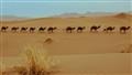 Camels in Mesr, Iran